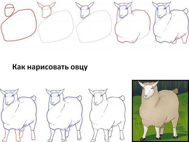 Як намалювати овечку, барана і ягня